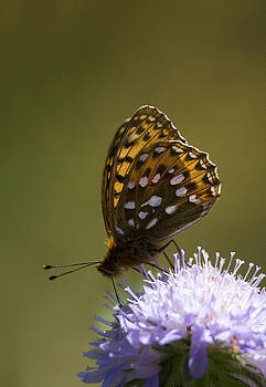 Dark Green fritillary by Bob Kemp