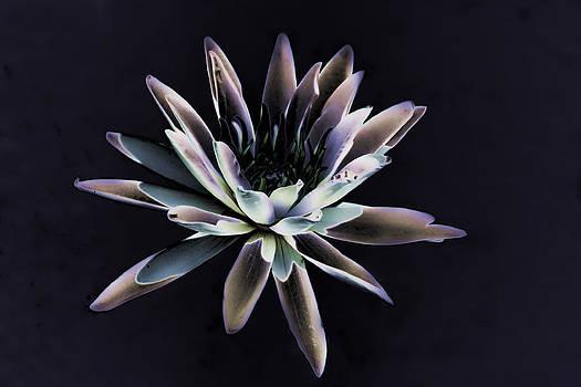 Joe Bledsoe - Dark Lily
