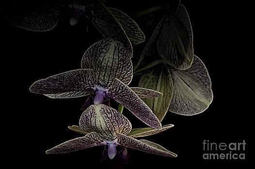 Dark Orchid by Dee Johnson