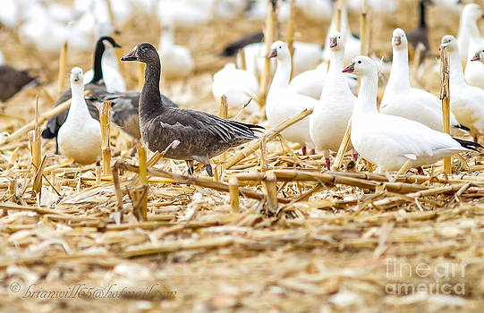 Dark phase of the Snow goose by Brian Williamson