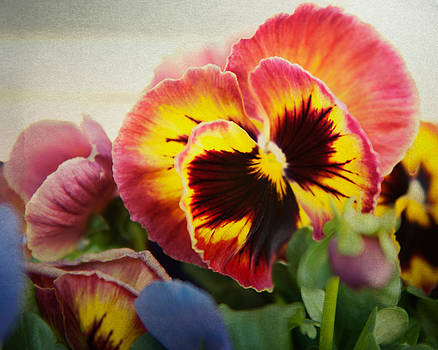 Dark pinkish-red pansy by Sammy Miller