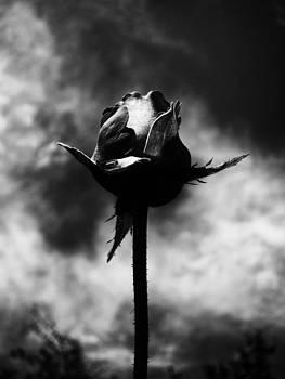Dark Rose by Georgii Chechin