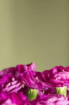Anne Gilbert - Darling Dianthus