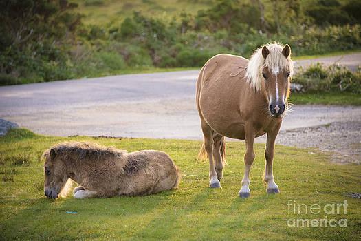 Dartmoor Ponies by Donald Davis