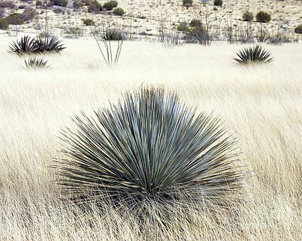 Douglas Taylor - DASYLIRION AND DESERT GRASSLAND