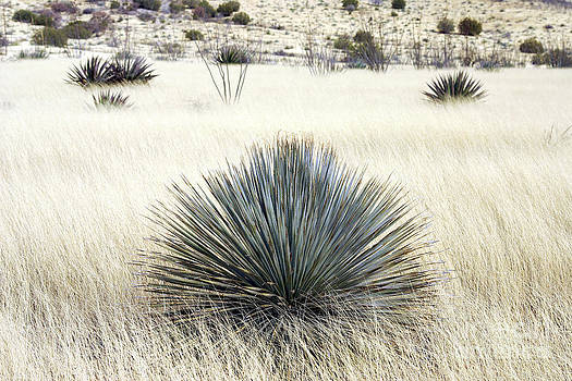 Douglas Taylor - DASYLIRION IN DESERT GRASSLAND