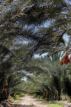 DJ Laughlin - Date Palm Farm