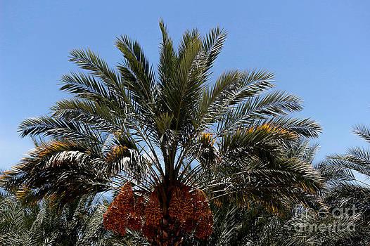 DJ Laughlin - Date Palm Tree