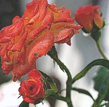 Rosemarie E Seppala - David Austin Roses From Bud To Full Bloom  In Audubon Style