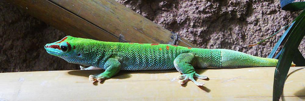 Alexander Drum - day gecko