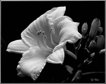 One Day Lily  by James C Thomas