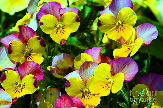 Day of Pansies by Anne Marie Corbett