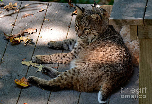 Daydreaming Bobcat by Eva Thomas