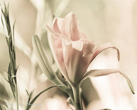 Daylily in Soft Pink Antique by Kathy Nairn