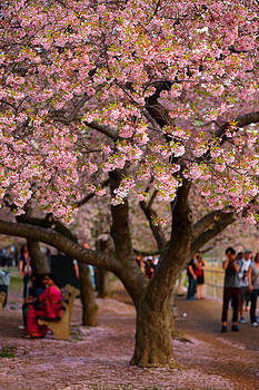 DC Cherry Blossom Tree by Scott Fracasso