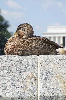 DC Duck by Kristin Clarke