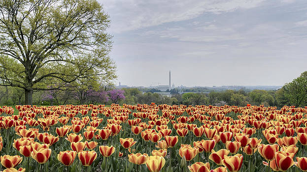 DC Tulips  by Michael Donahue