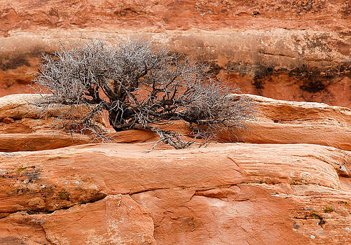 Dead bush in Arches National Park. Utah by Rob Huntley