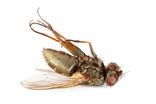 Dead fly by Monika Wisniewska