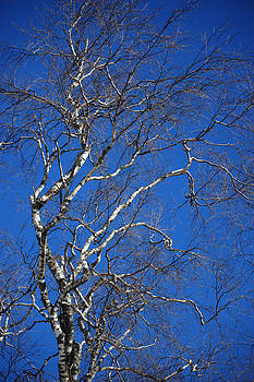 Jenny Rainbow - Deep Blue Sky and Birch Tree  1