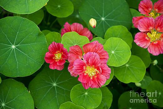 Deep Pink Nasturtium by Lauren Brice