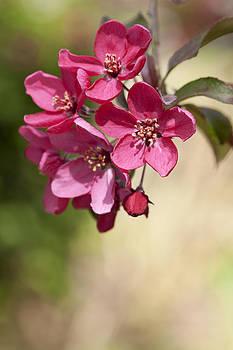 Deep Pink Spring Blossom by Gillian Dernie