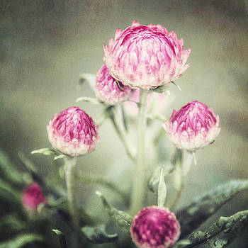 Lisa Russo - Deep Pink Straw Flowers after a Rain