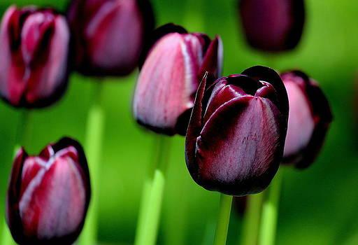 Rosanne Jordan - Deep Violet Tulips