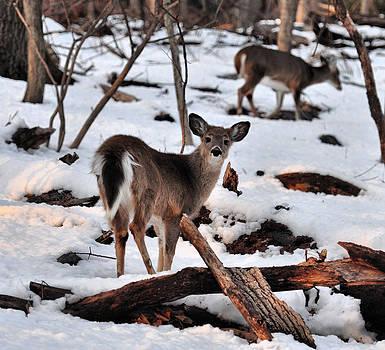 Deer and Snow by Russ Considine