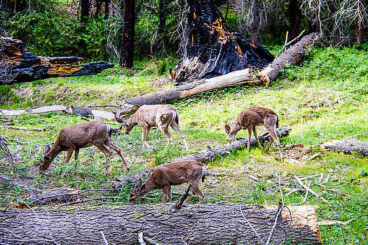 Deer feeding in the Grove by Brian Williamson