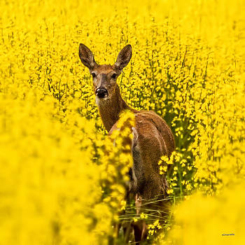 Deer in Canola Field by Jim Lucas