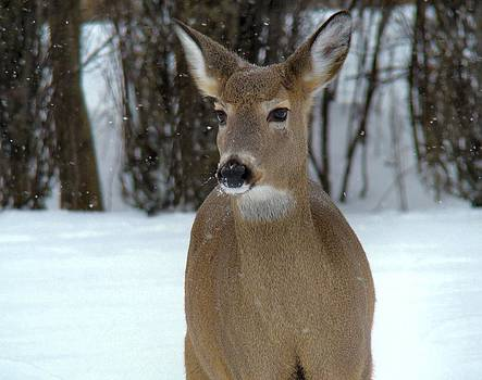 Gothicrow Images - Deer In Snow