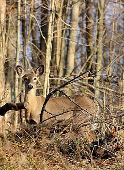 Deer in the Woods by Diane Merkle
