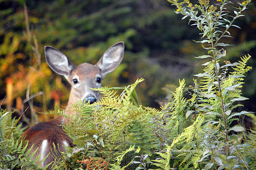Deer in the Woods by Timothy Thornton