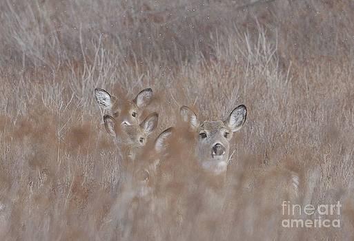 Deer Soft by Randy Bodkins