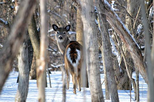 Deer by Timothy Thornton