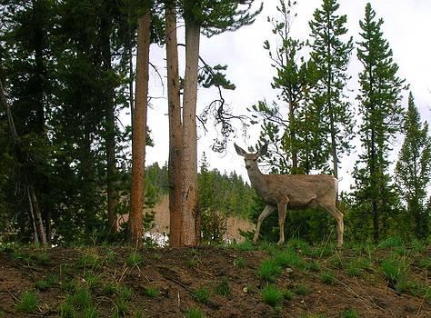 Deer by Yvette Pichette