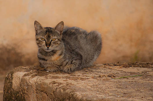 Defiant cat by Jawaharlal Layachi