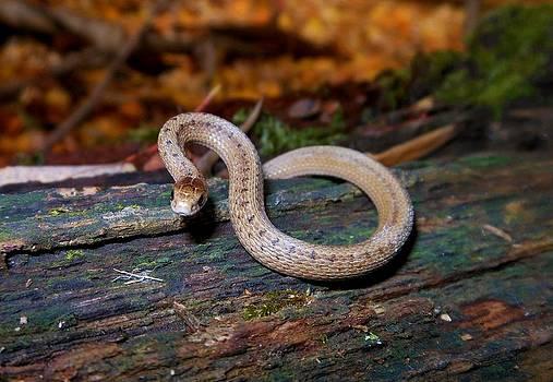 DeKay's litter snake by Kortney  Jaworski