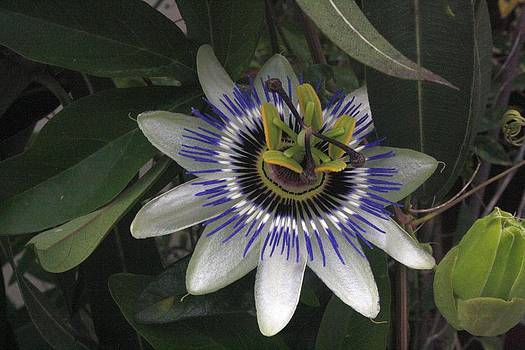 Tracey Harrington-Simpson - Delicate and Beautiful Passiflora Flower