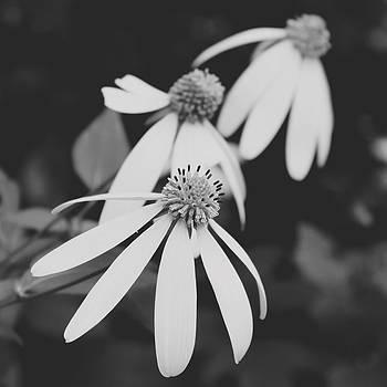 Delicate Beauties by Amanda Leigh
