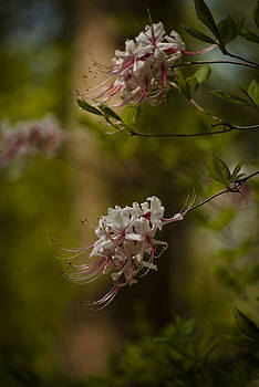 Delicate  by Cindy Rubin
