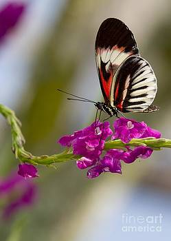 Sabrina L Ryan - delicate Piano Key Butterfly