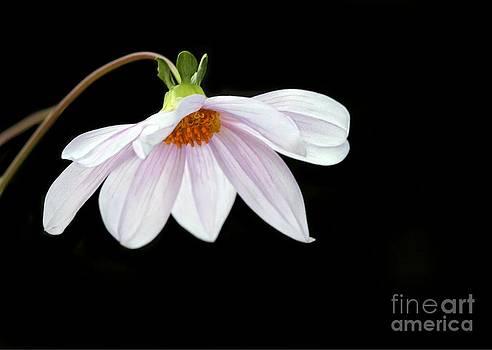 Sabrina L Ryan - Delicate Pink Dahlia Flower