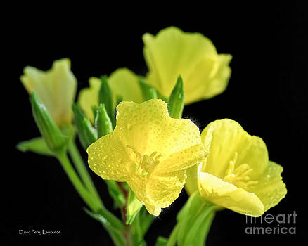 Delicate Yellow Wildflowers in the Sun by David Perry Lawrence