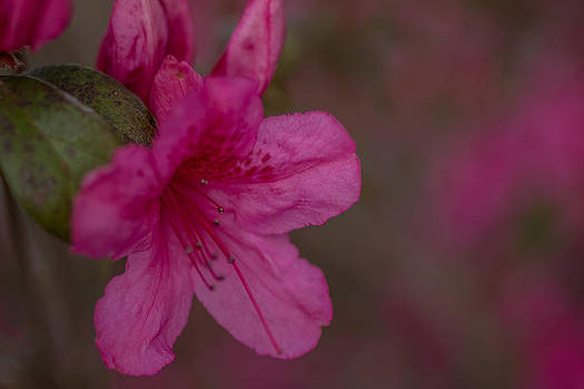 Delightful Azalea by Julie Andel