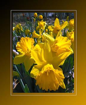 Delightful Daffodils by Patricia Keller