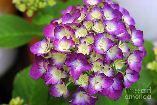 Delightful Hydrangea  by Judy Palkimas
