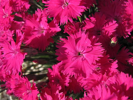 Delightful Pink by Sandra Martin