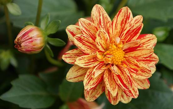 Dawn Hagar - Delightful Striped Dahlia